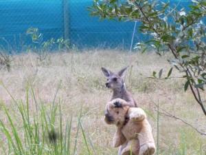 1438930503_orphaned-kangaroo-teddy-bear-2