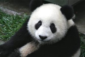 PaNda----pandaaa